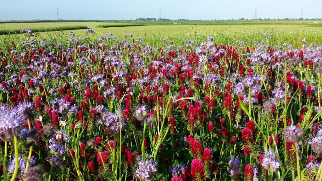 Operation Pollinator Annual Wildflower Mix alongside Cereals