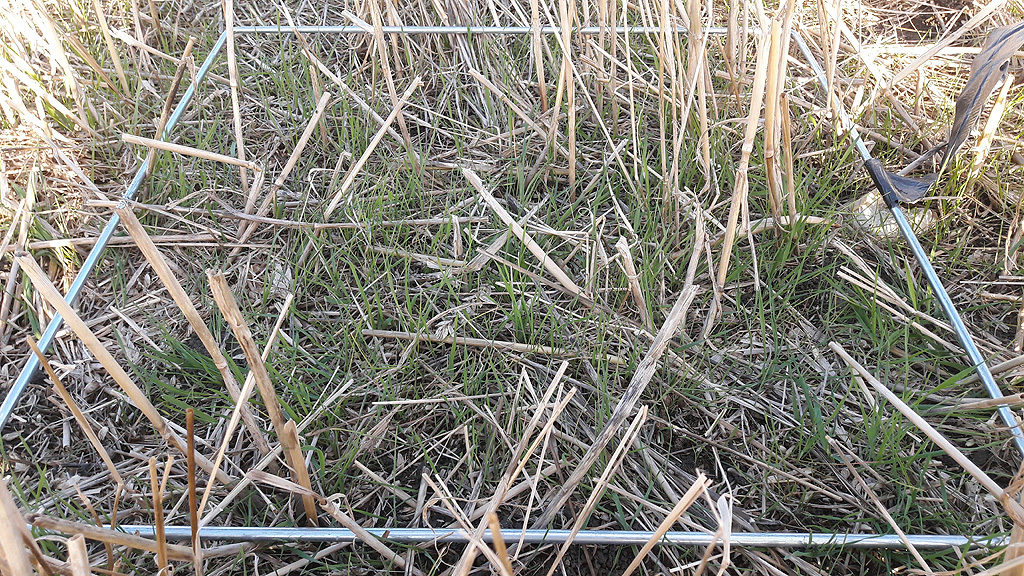Barton site Black grass population Autumn 2019