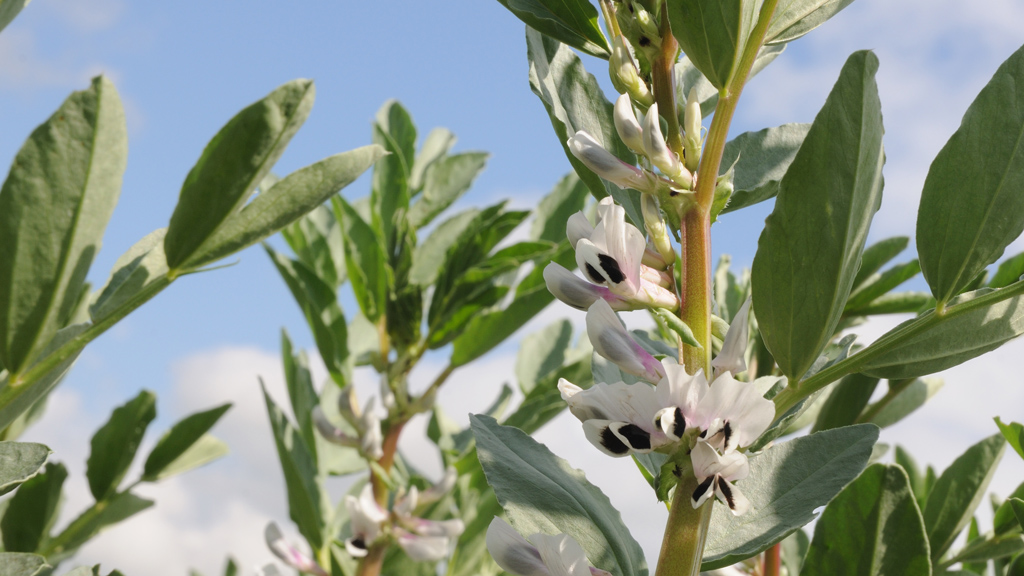 Winter bean crop in flower