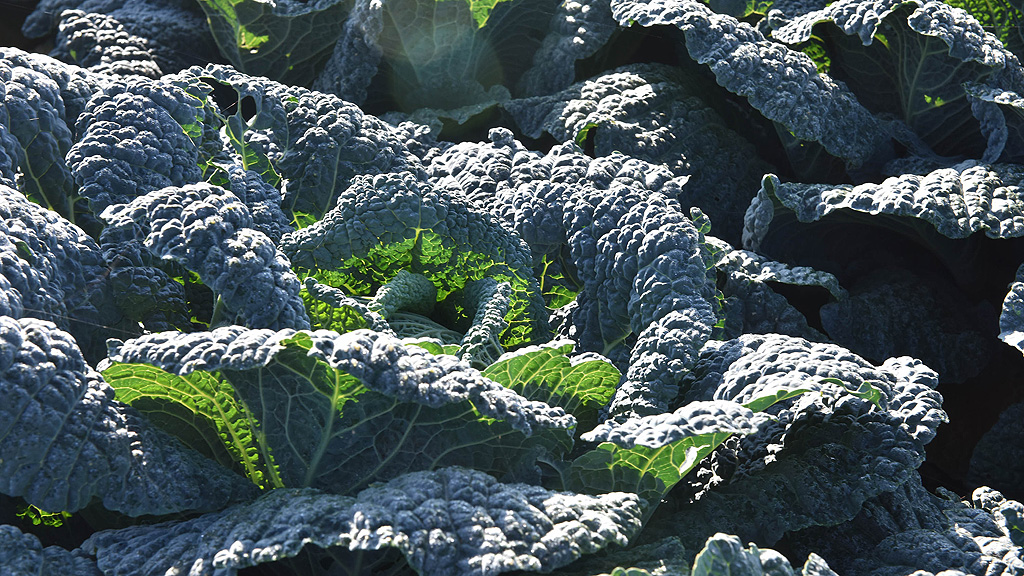 Savoy cabbage varieties at Syngenta Fields of Innovation Open Day 2018
