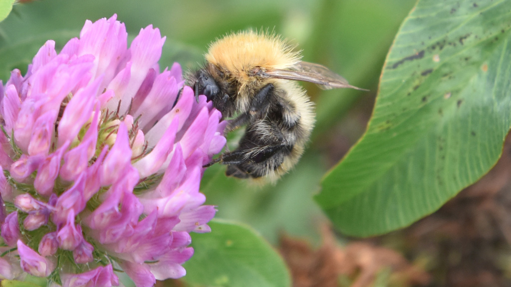 Common Carder Bee on clover at CFE meeting Cirencester