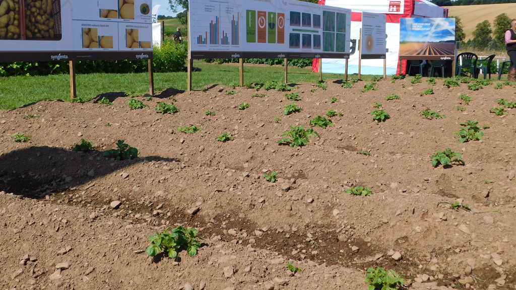 Potato emergence plots at PiP 2017