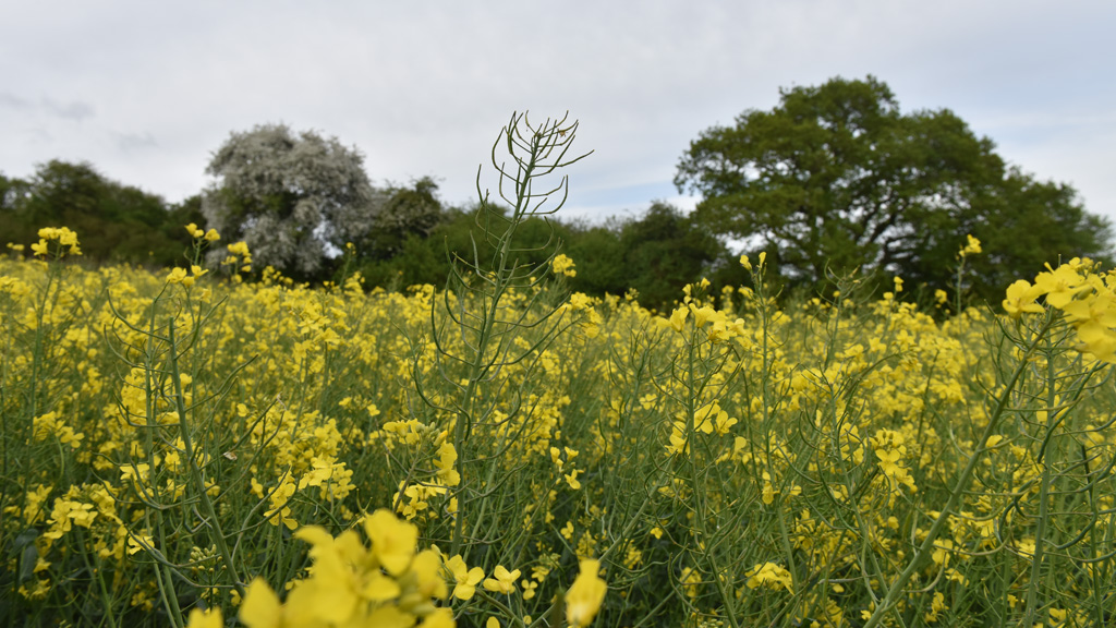 Even pod set on strong growth of Sutton Estates OSR - Berkshire May 2018