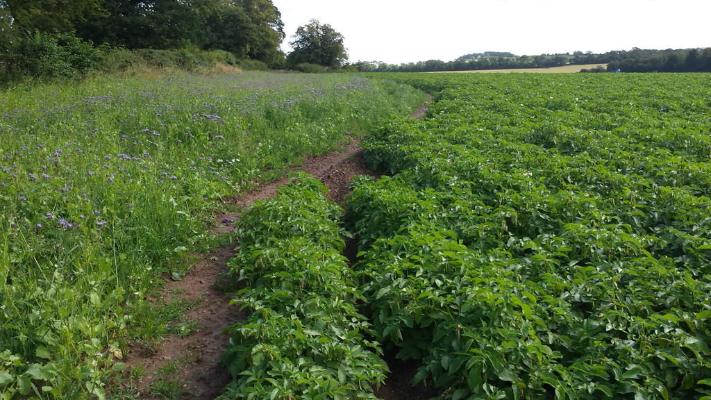 Green Headlands mix around potatoes