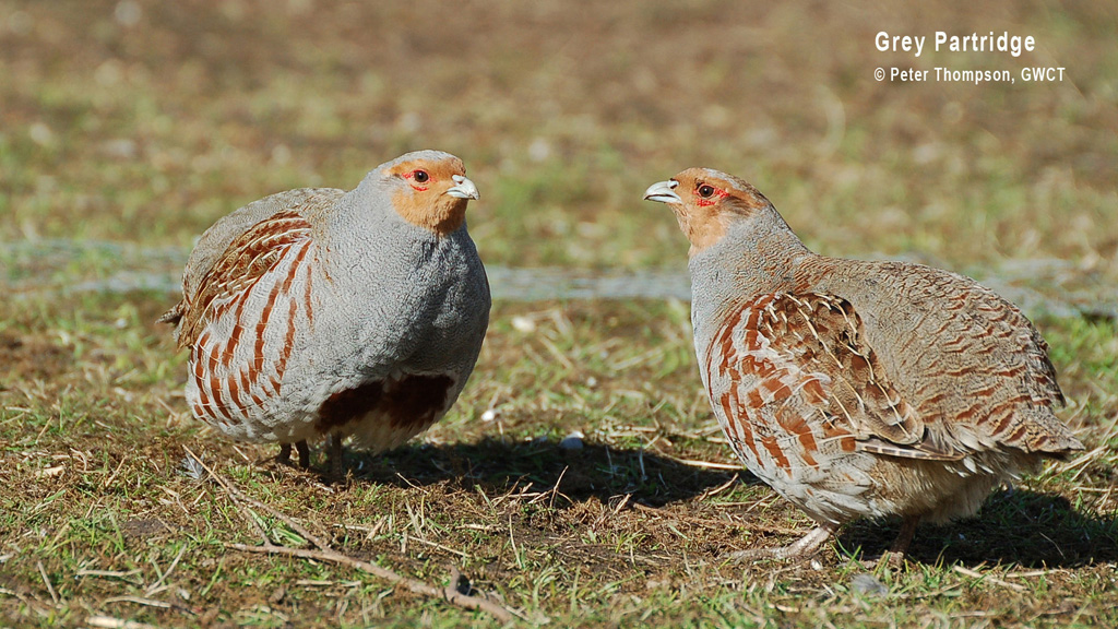 Grey Partridge - GWCT