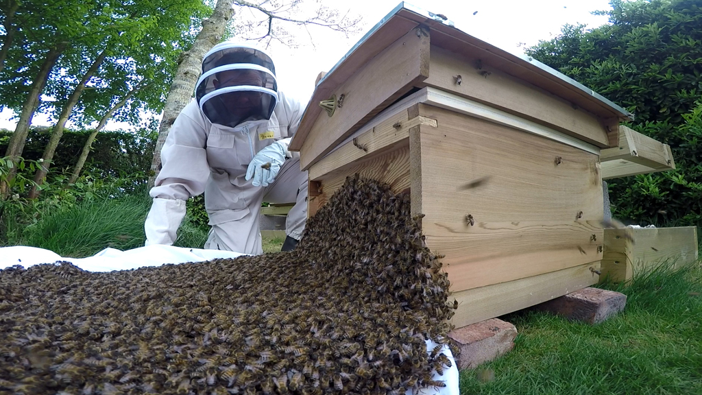 Hiving swarm of bees