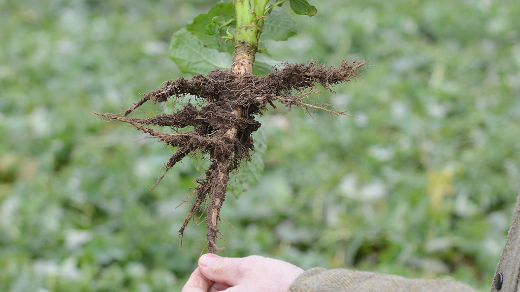 Rooting of precision drilled OSR - Feb 2017