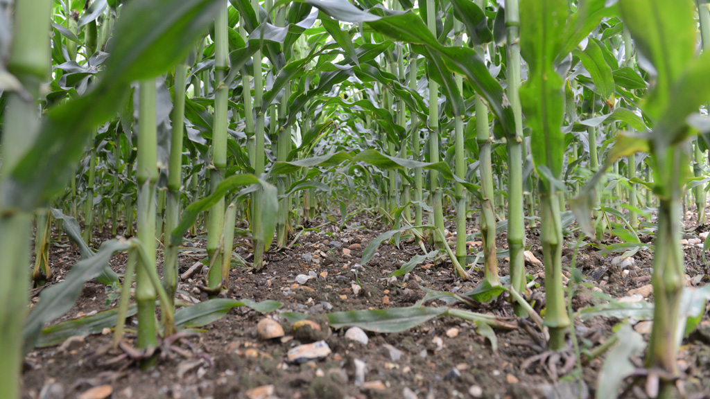 Weed free maize crop