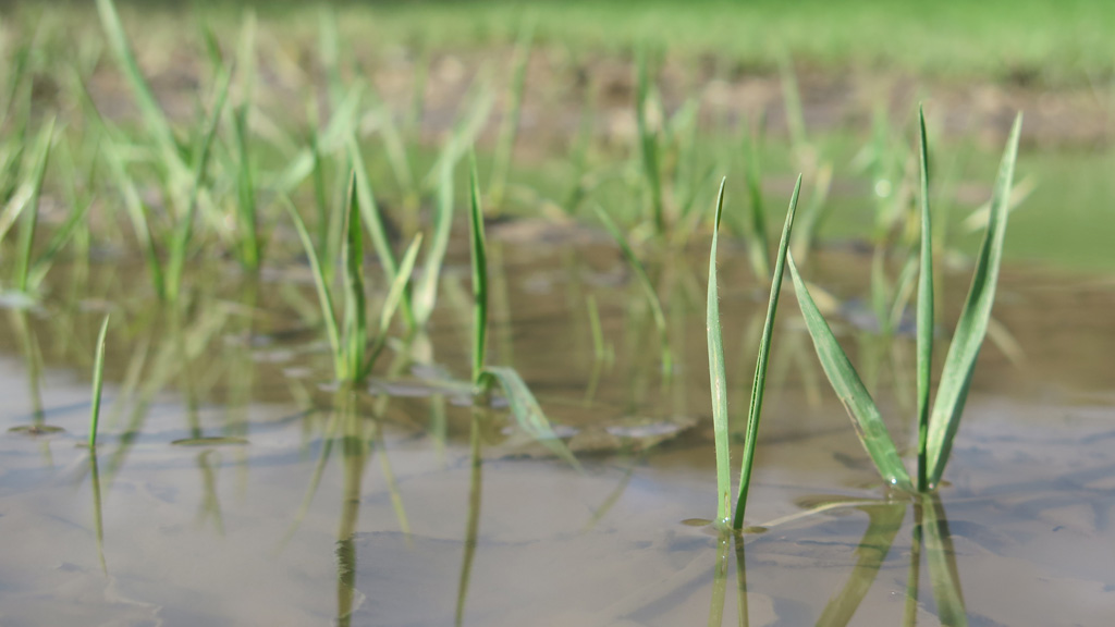 Waterlogged wheat