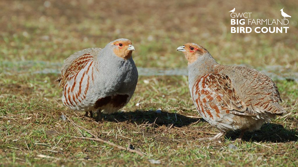 Big Farmland Bird Count Grey Partridge