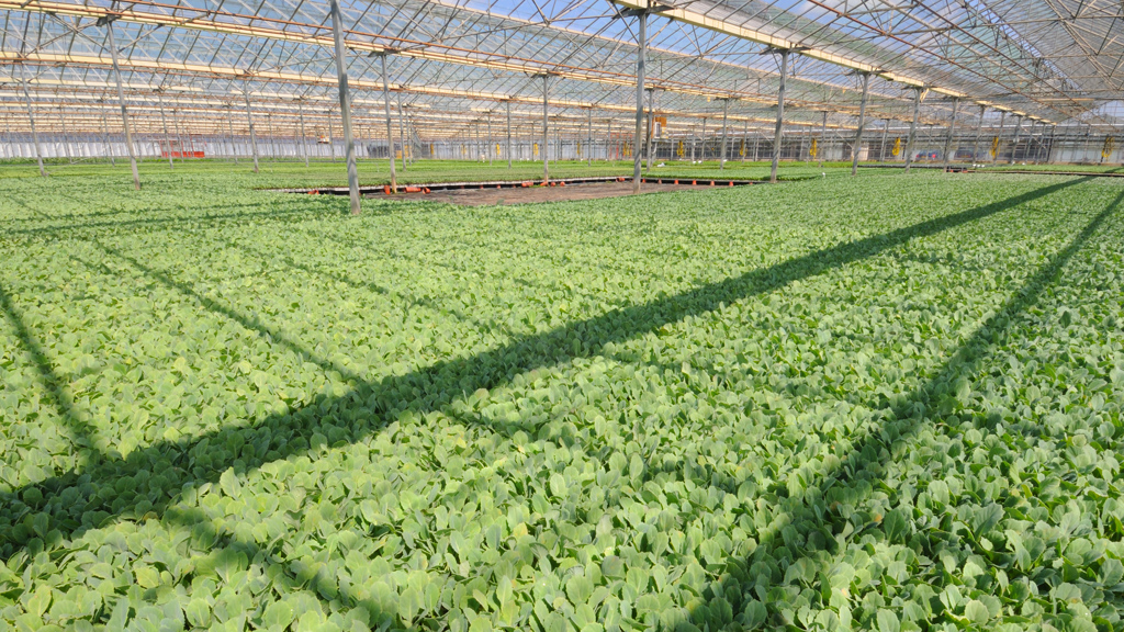 Brassica propogation glasshouse with Cruiser Phyto-Drip protection