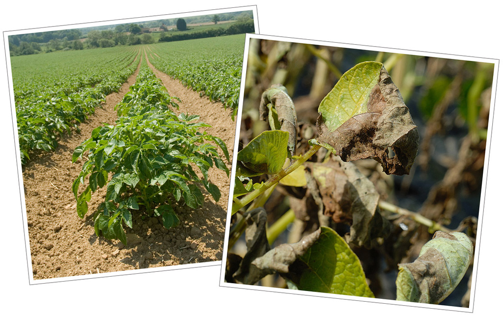Blight effects on healthy potato crop