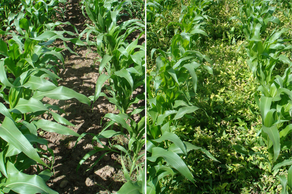 Weed competition stifles growth and green leaf area of maize plants