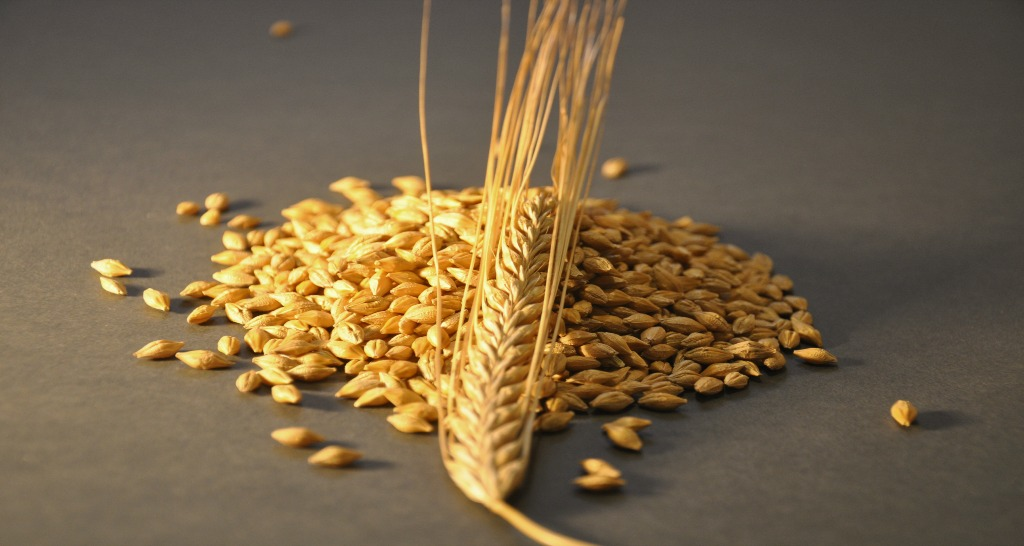 Propino Spring Barley Grain and Ear
