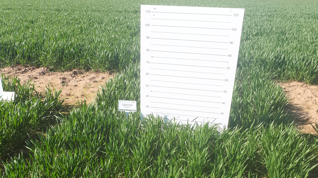 We have erected our 'criminal' height boards to capture differences in growth height of different varieties.