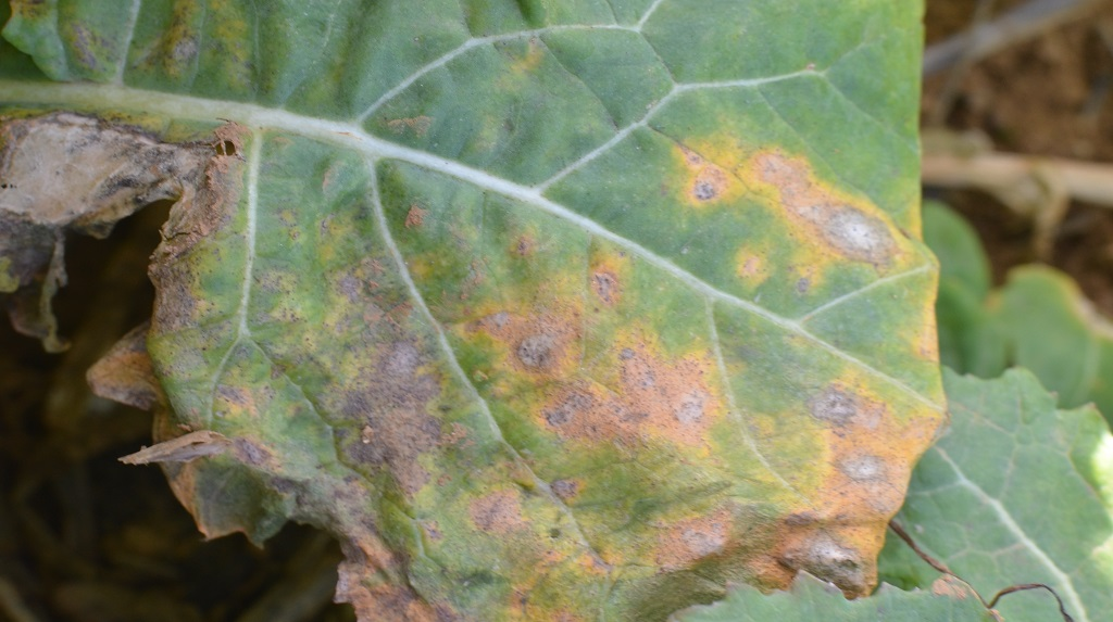 Photograph of Phoma lesions on the older leaves of Charger