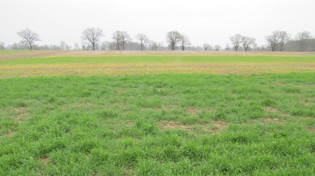 A field showing the cover crops being trialled at the Rougham innovation Centre