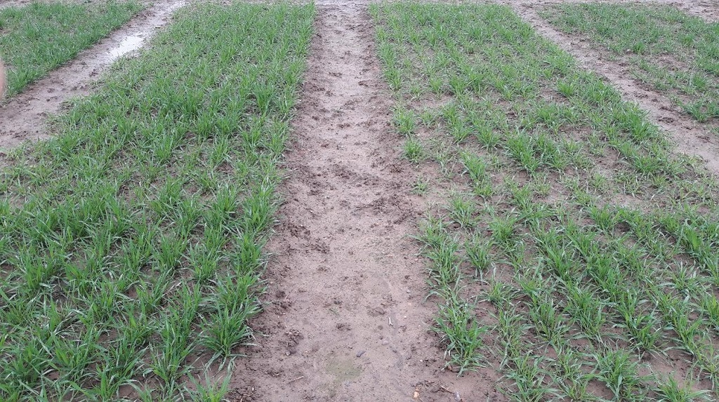 Photo showing enhanced growth in a Shabras wheat plot treated with Vibrance Duo