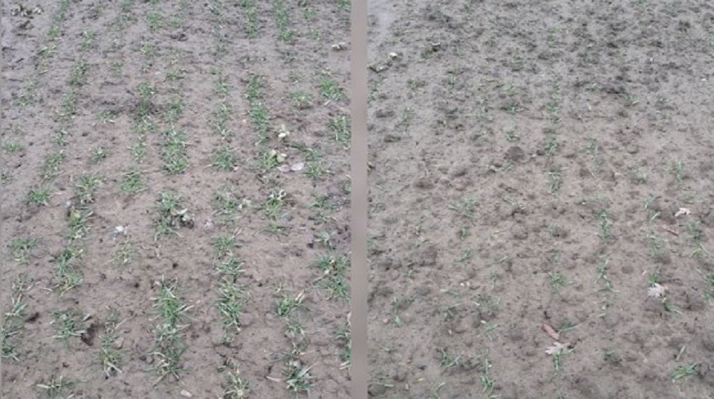 Two comparative photos showing winter barley drilled in October further ahead of winter barley drilled in November