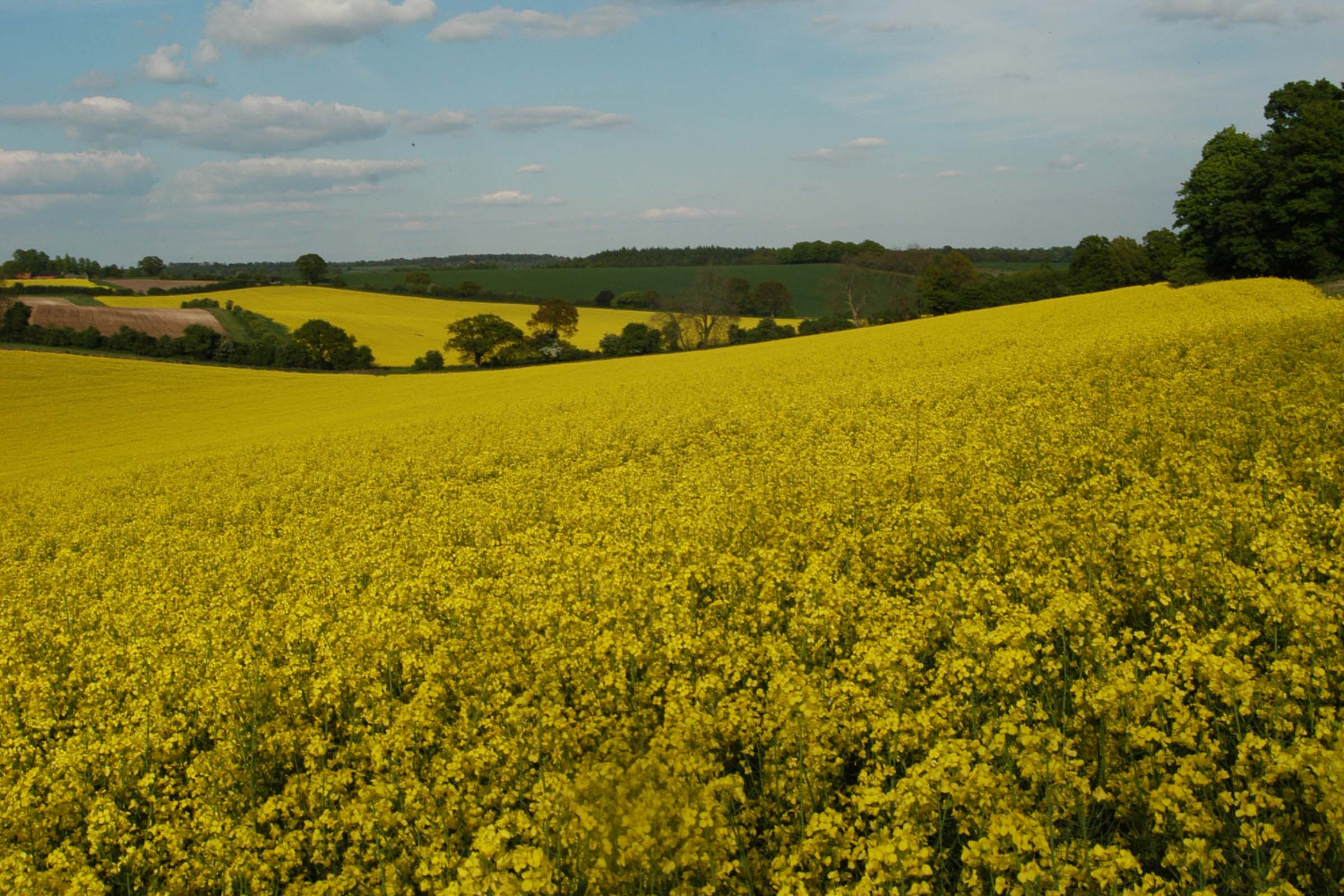 OSR in flower field scene