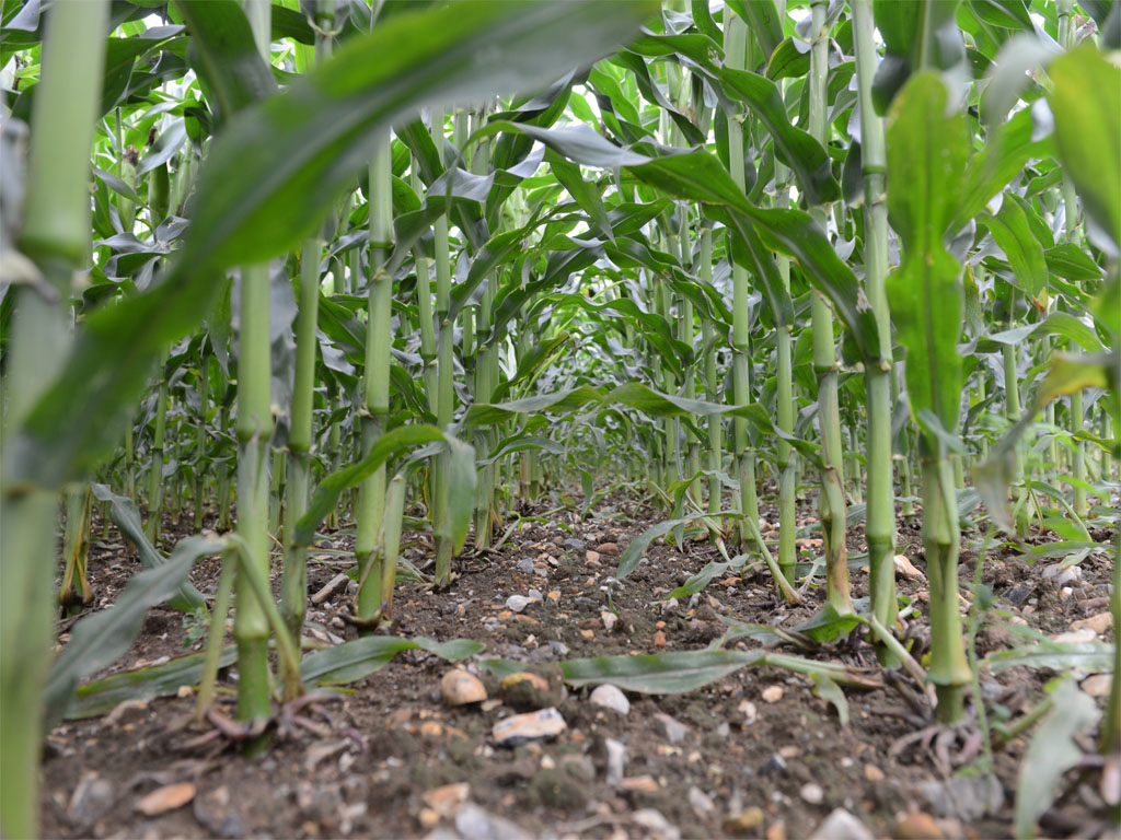 Weed-free maize