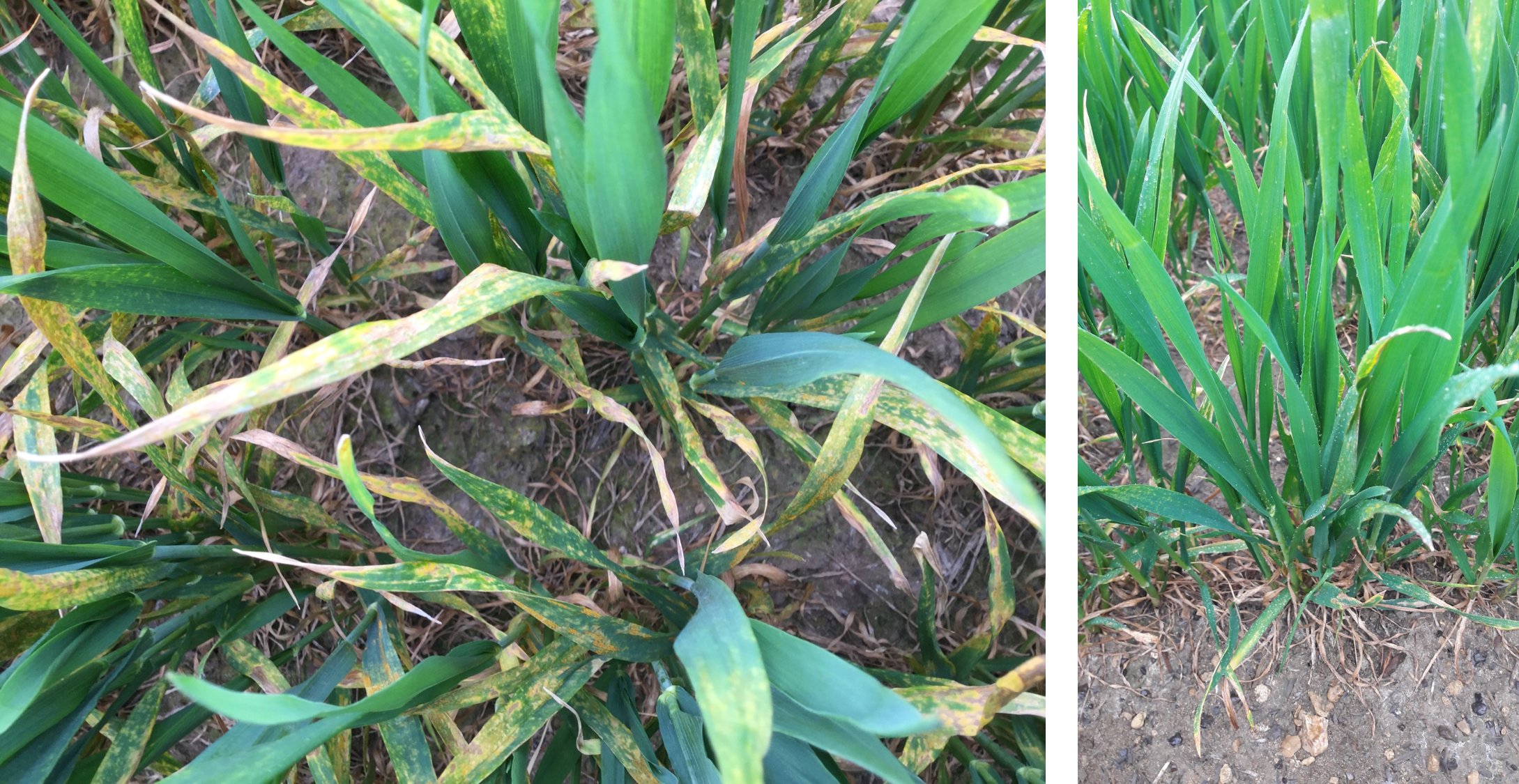 Untreated vs Cherokee T0 yellow rust