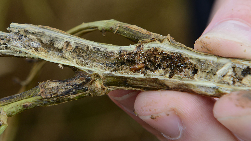 CSFB pupae in OSR stem