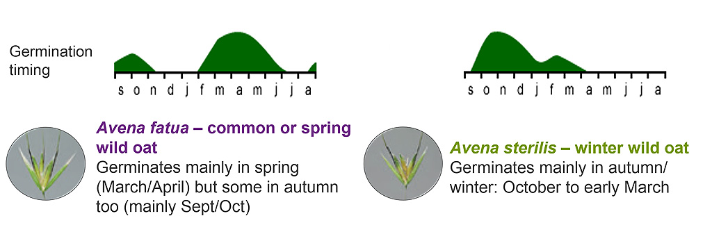 Wild oat germination timing