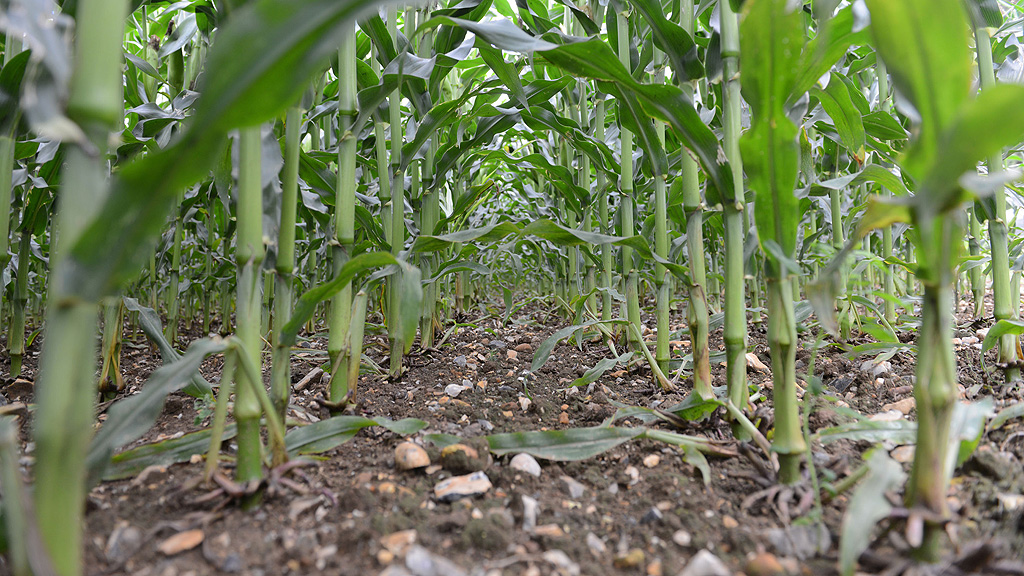 Weed free maize