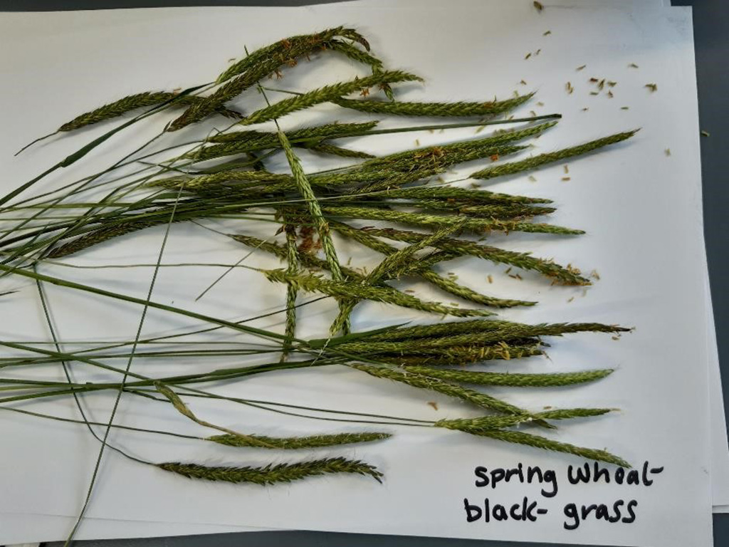 Black-grass seed heads from spring wheat