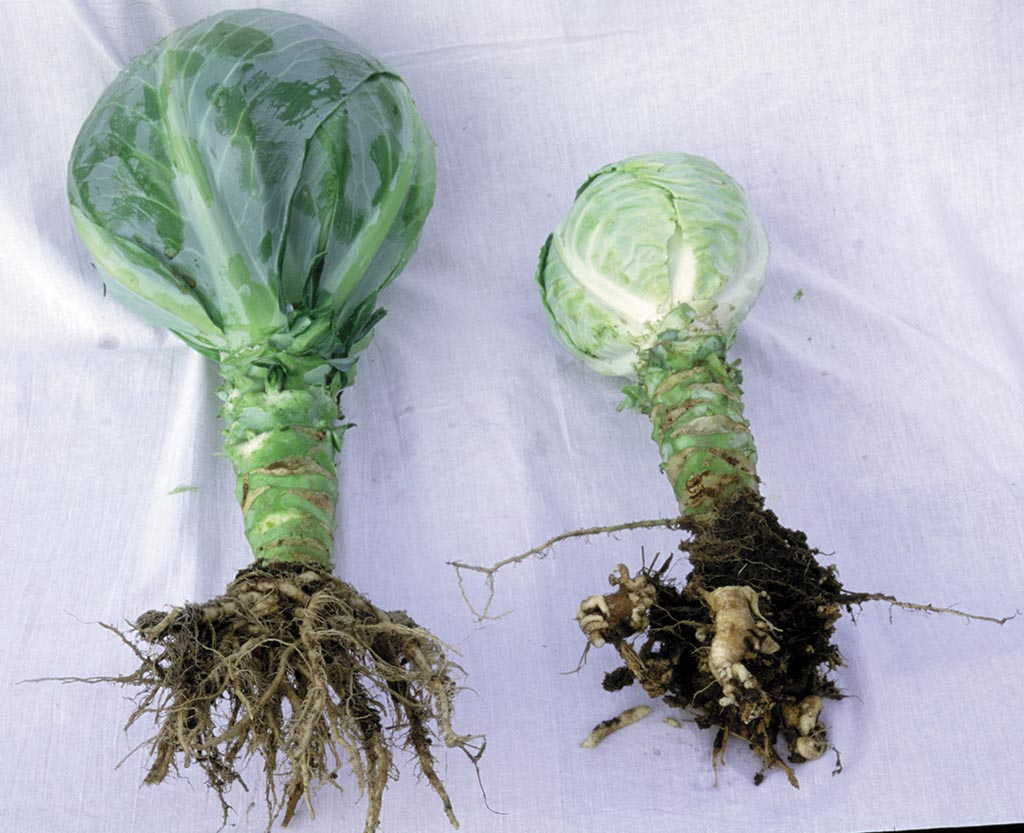 Clubroot effects