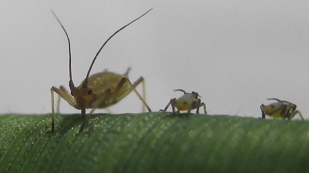 Grain aphid on cereal leaf