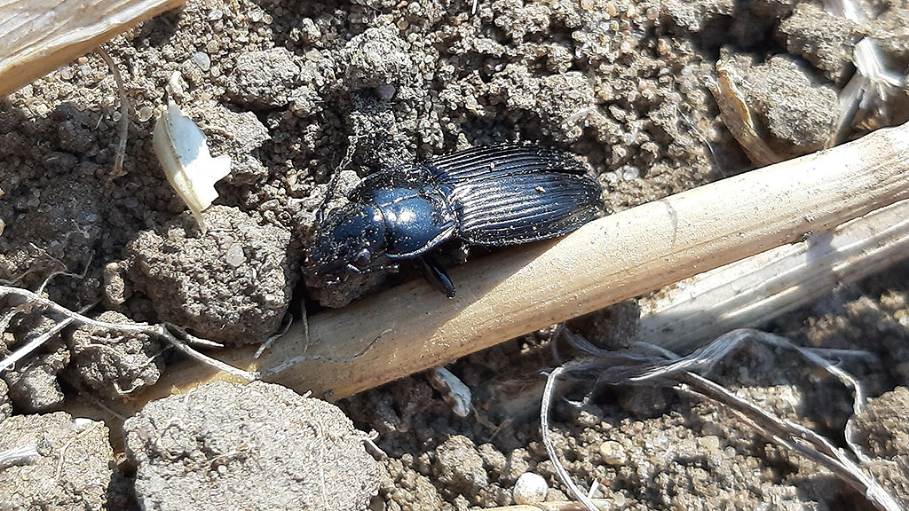 Ground beetle on new 2020 iOSR site