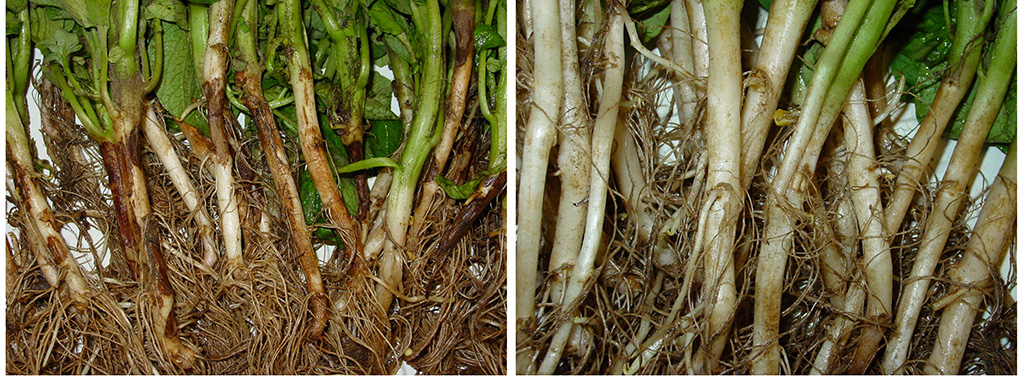 Rhizoctonia stem effects left vs Amistar protection right
