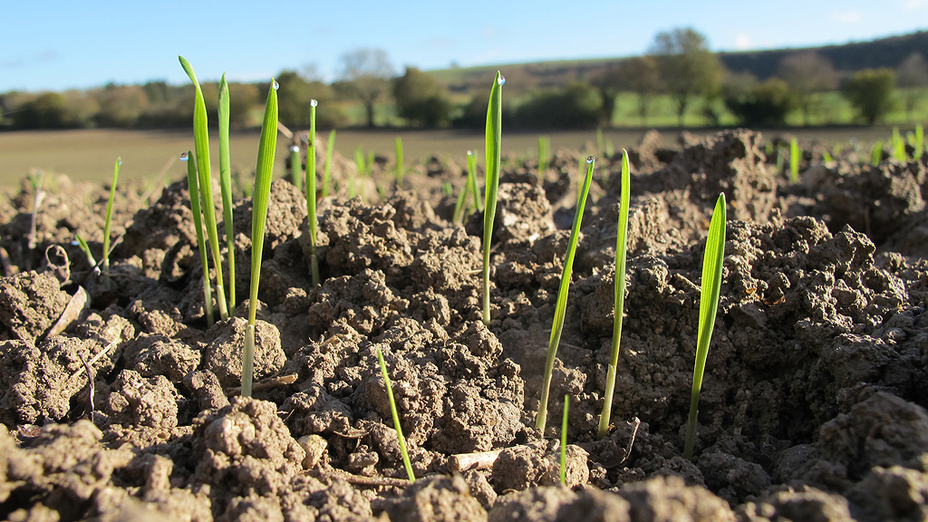 Wheat seedlings post emergence