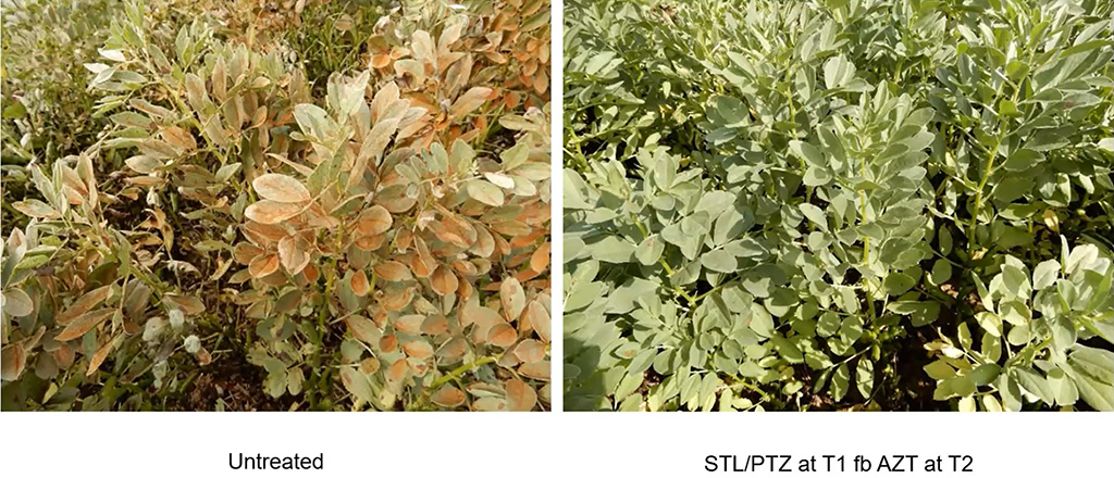 Bean rust infection and control in the field