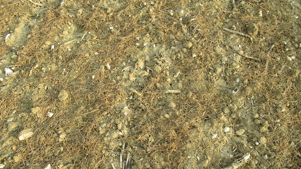 Cover crop removed early with glyphosate