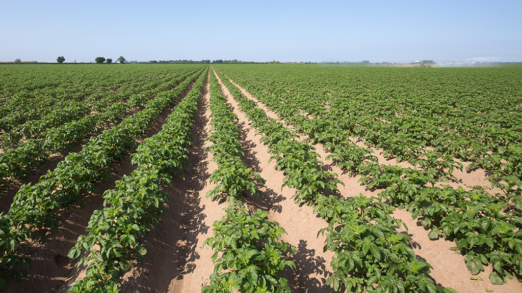 Potato field under heat stress