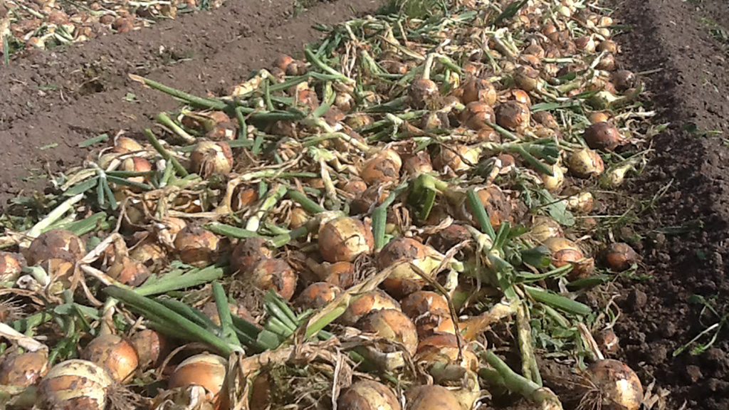 Onions for harvesting