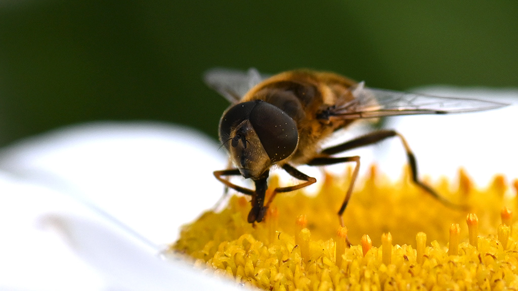 Hoverfly on corn chamomile