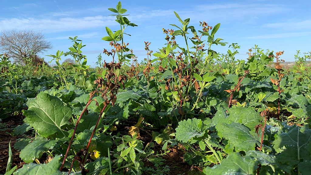 Cover crops in OSR