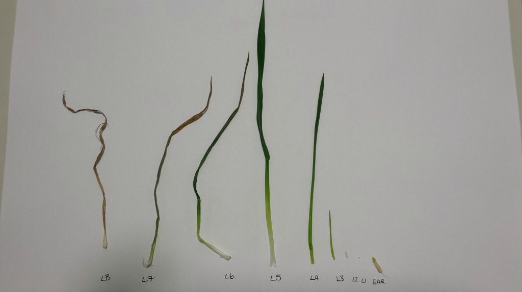 Image: Plant dissection 23rd March GS30 but leaf 4 only 40% emerged.