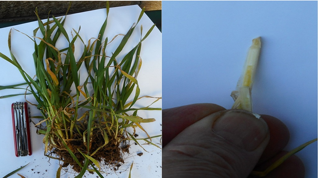 Close-up photos of fairly forwards winter wheat plants