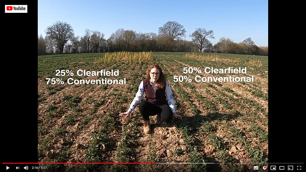 iOSR Focus Site video of Clearfield and conventional variety trials