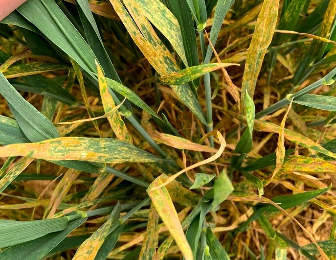 Stamford IC variety fungicide trials