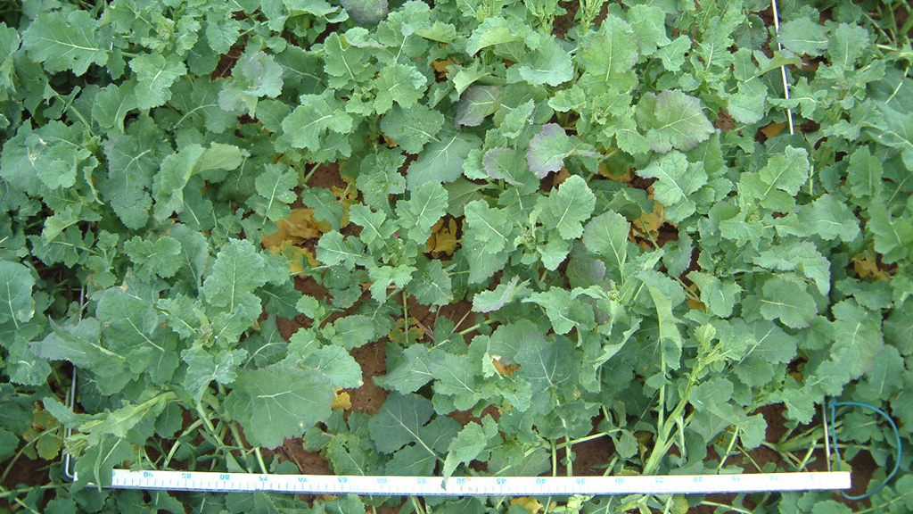 OSR poised for spring growth