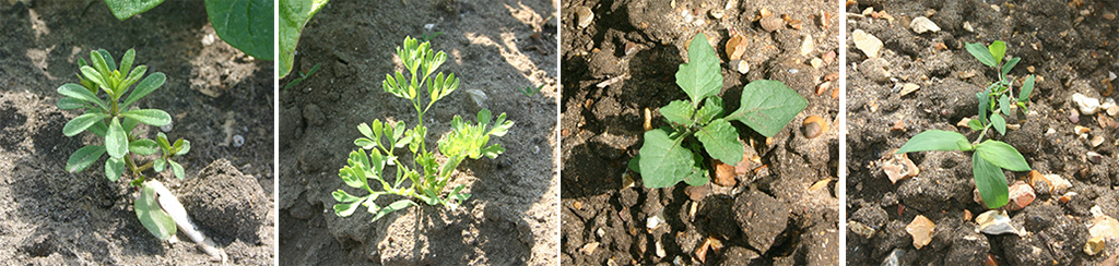Weed spectrum - cleaver, fumitory, nightshade, knotgrass