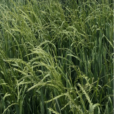 Field of wheat with ryegrass weeds. 5% Wheat yield loss is caused from just 5 ryegrass plants/m2