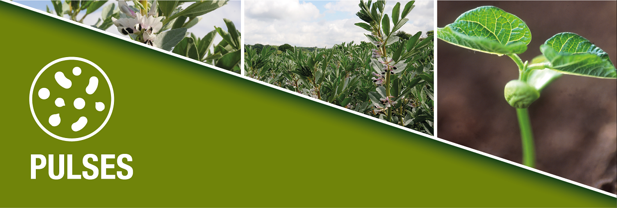 Syngenta advice for pulse growers