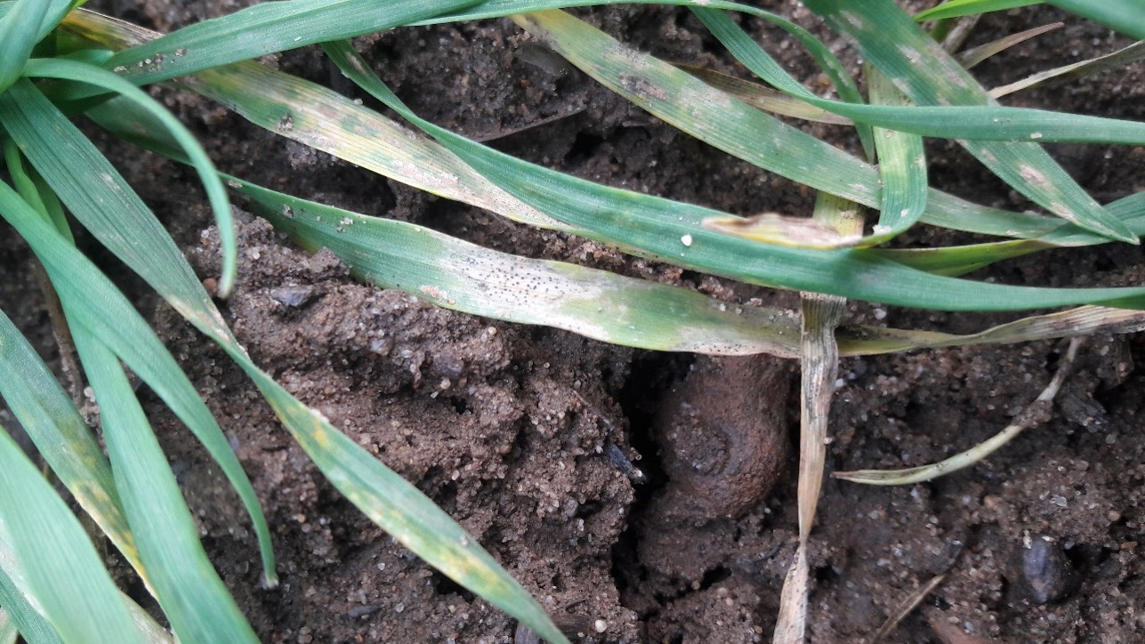 Newark Septoria in winter wheats